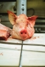 pig-butcher-_0001
